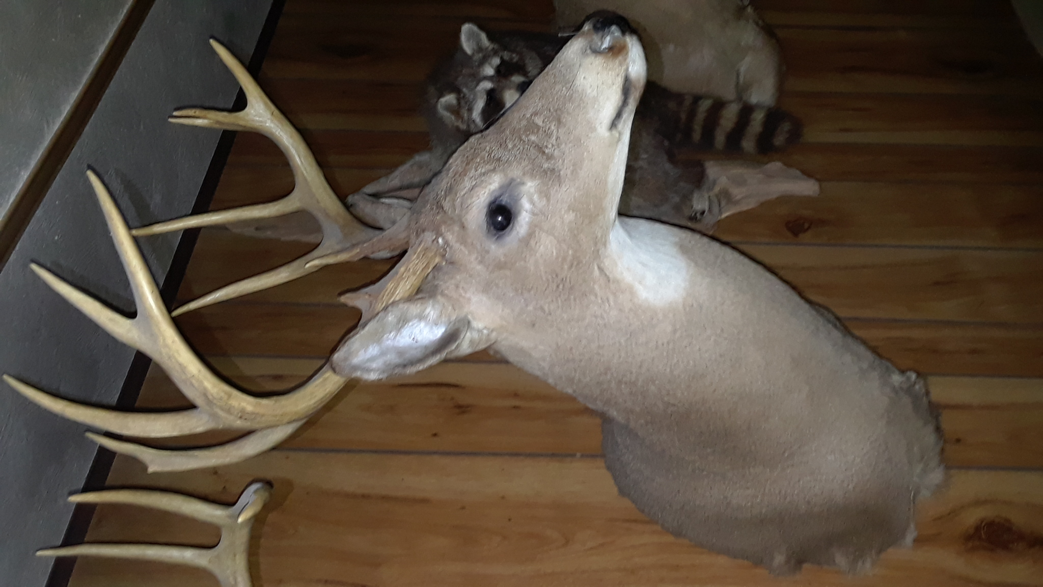 What are my 10 point whitetail deer head mounts worth